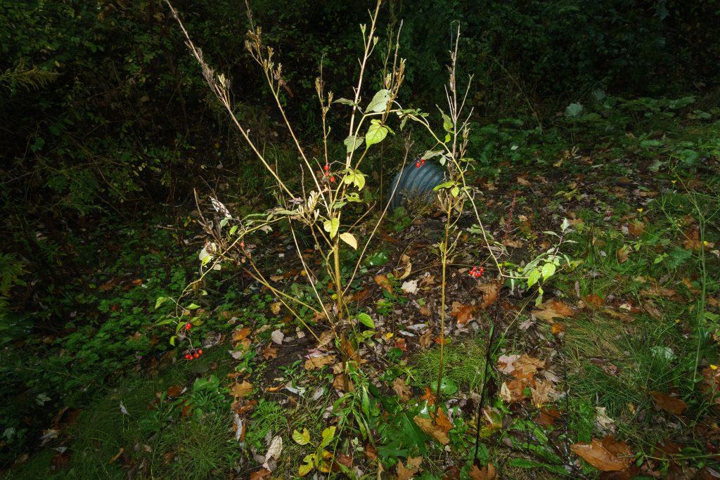 night flash photo of Nightshade and dry, dead Evening Primrose
